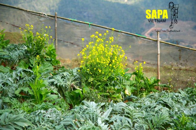 Sapa_249